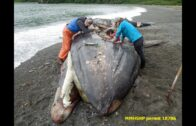 "Fukushima news; DEAD GRAY WHALES ""UNEXPLAINED"" LA TIMES FRAUD SAYS 215 NOAA, NOAA SAYS 243 I SAY 312"
