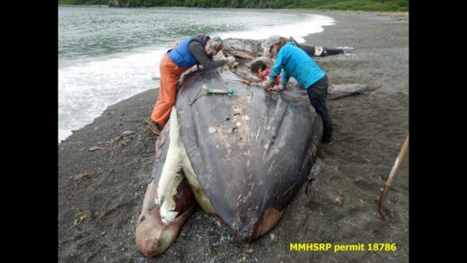 Fukushima-news-DEAD-GRAY-WHALES-quotUNEXPLAINEDquot-LA-TIMES-FRAUD-SAYS-215-NOAA-NOAA-SAYS-243-I-SAY-312